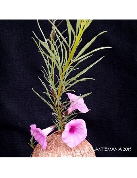 IPOMOEA bolusiana