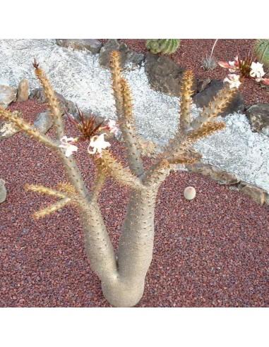 PACHYPODIUM rutenbergianum (10 s)