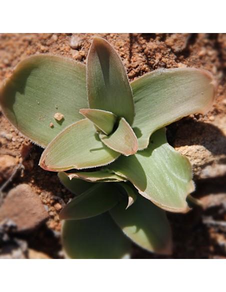 BULBINE brunsvigiaefolia