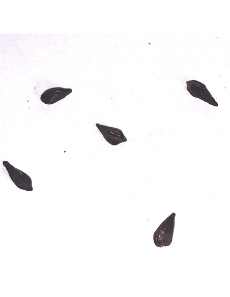 SENNA meridionalis (3 s)