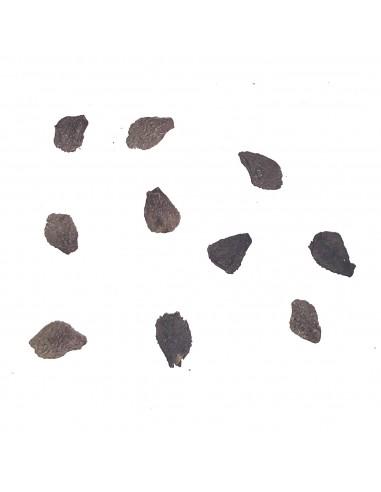 UNCARINA ankaranensis (5 s)