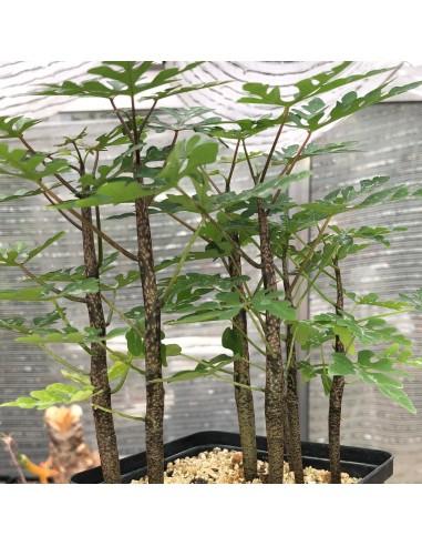 ADENIA sp. Madagascar