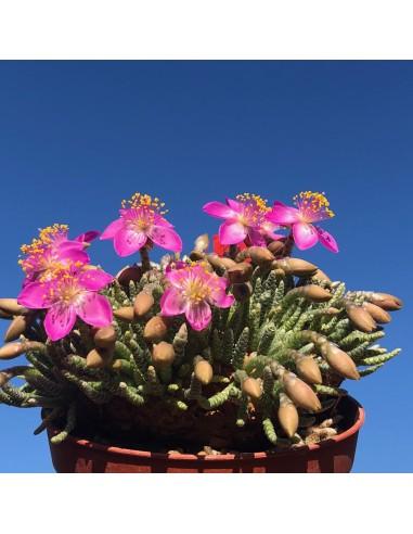 AVONIA alstonii quinaria (10 g) (pink)