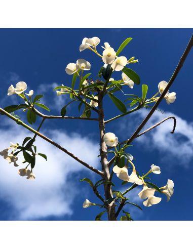 EUPHORBIA 'geroldii' white flowers (5 s)