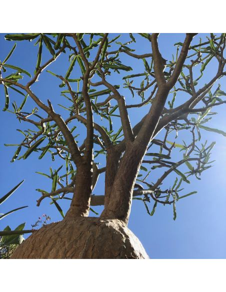 ADENIUM sp. Tanzania