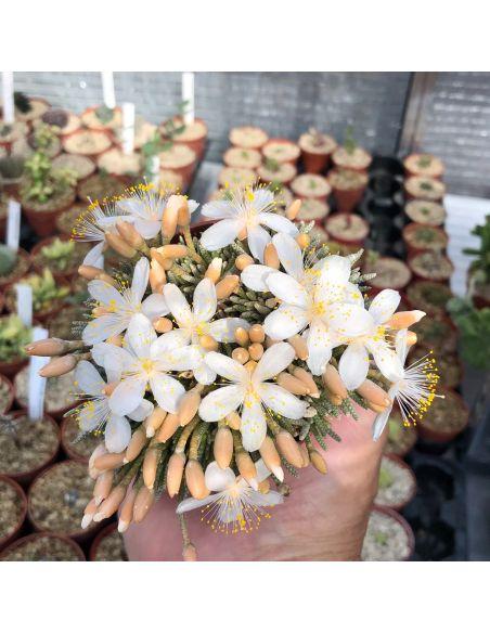 AVONIA alstonii alstonii (10 g) (white)