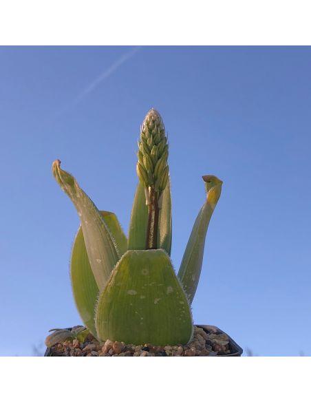 BULBINE brownsvigiaefolia (10 g)