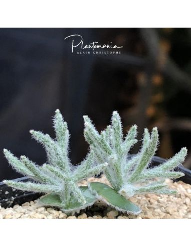 BULBINE mesembryanthemoides