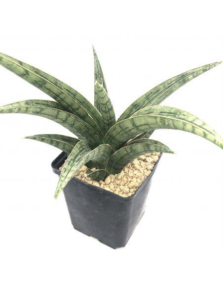 SANSEVIERIA cylindrifolia v. boncel