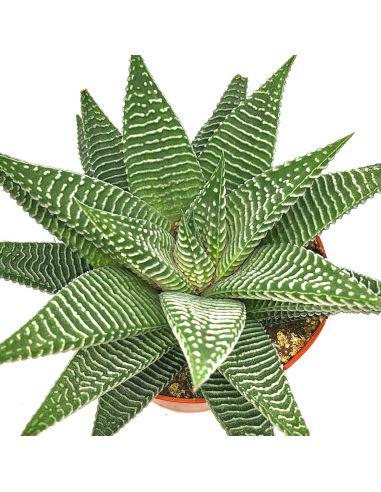 HAWORTHIA limifolia striata