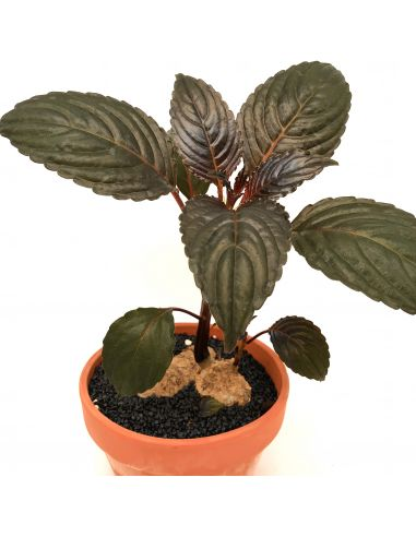 IMPATIENS 'Phengklaii' red leaves