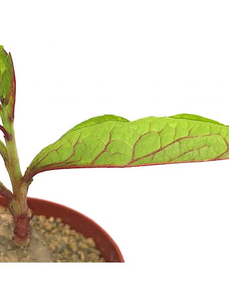 ADENIA goetzei (red veined leaves)