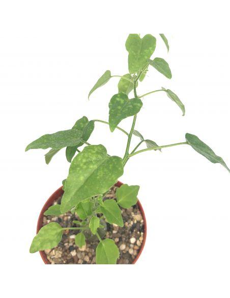 ZYGOSICYOS pubescens