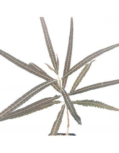 BOSWELLIA elongata