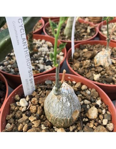 CYCLANTHEROPSIS parvifolia