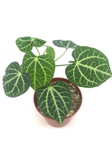 ADENIA sp. marbled leaves