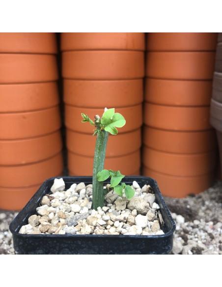 ADENIA aculeata ssp. aculeata