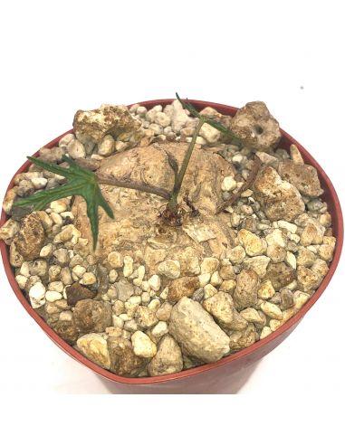 ADENIA stenodactyla 'Makambako'