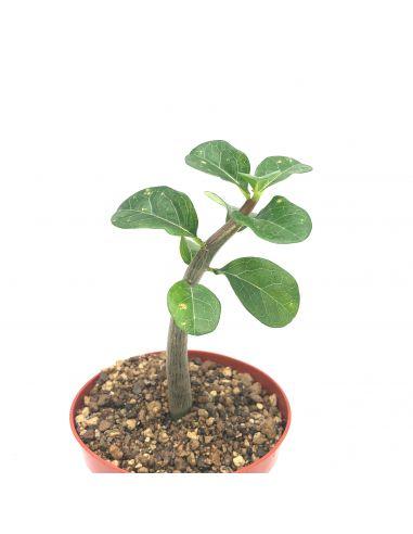 JATROPHA neopauciflora