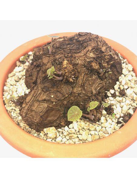 STEPHANIA kaweesakii (ex sp. nova)